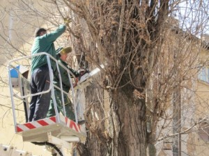 Seča trulih stabala